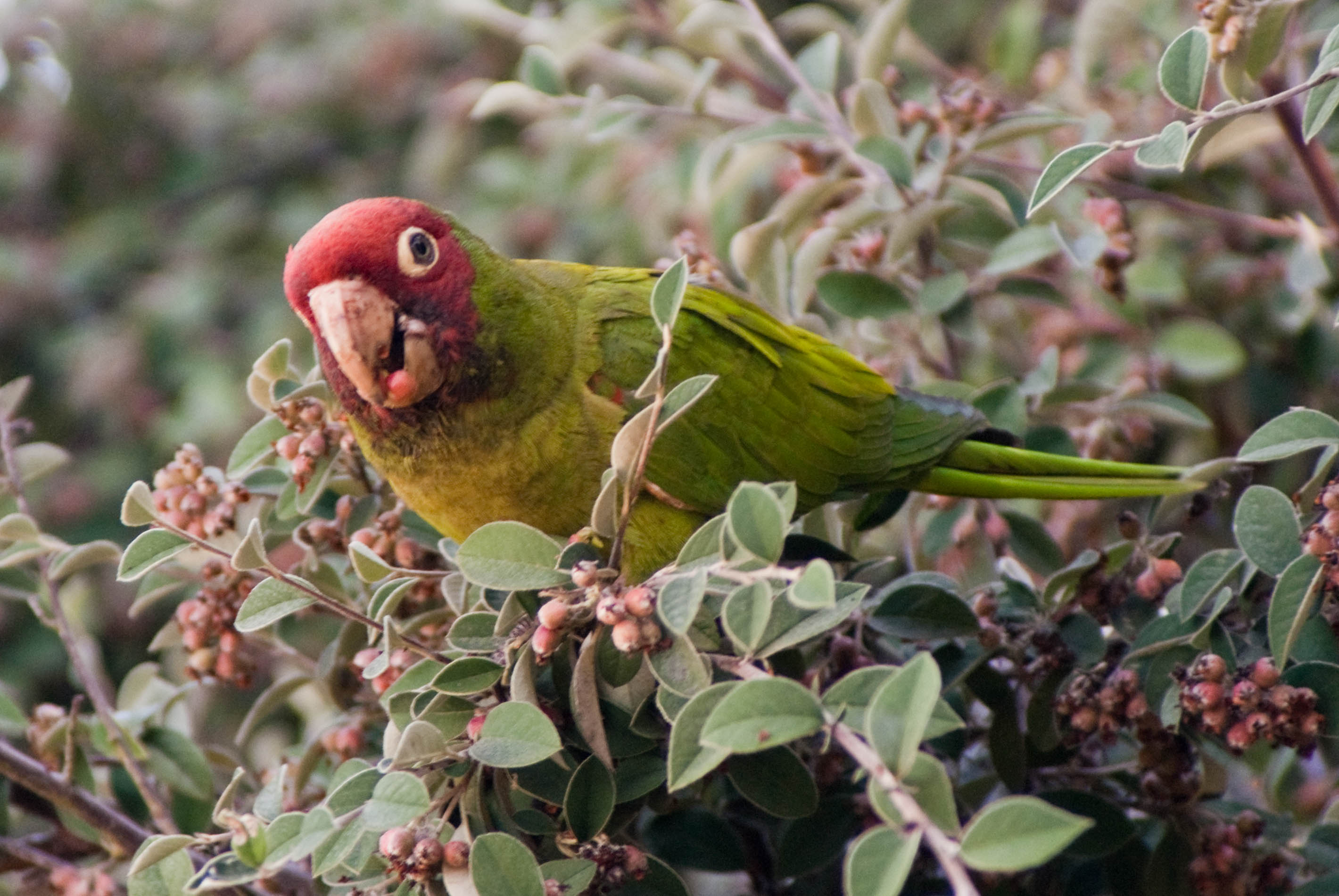 08744 Parrot with berry in mouth